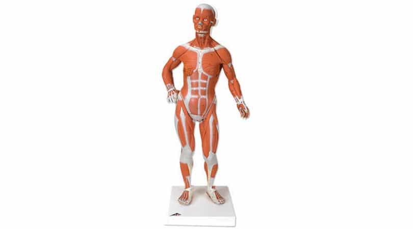 1/3 Size Muscular Figure. 2 Part