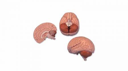 2 Part Brain