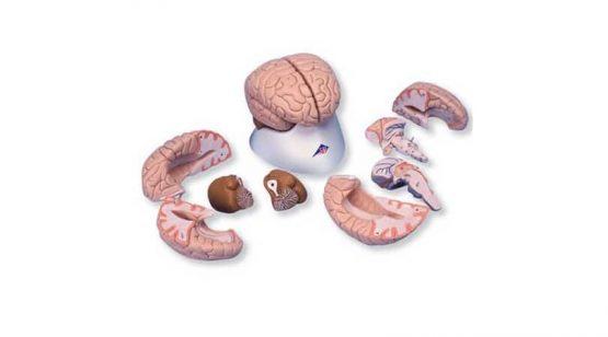 8 Part Brain