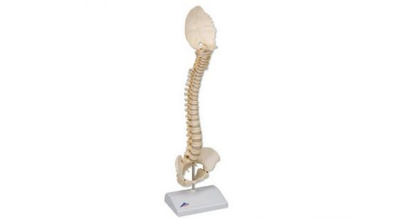 BONElike Child's Vertebral Column Model