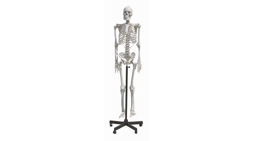 Budget Human Skeleton