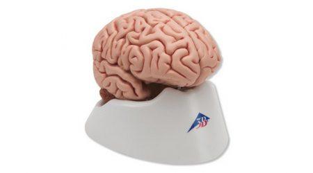 Brain Models