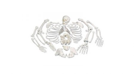 Human Disarticulated Skeleton Full