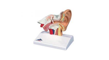 Giant Ear Model