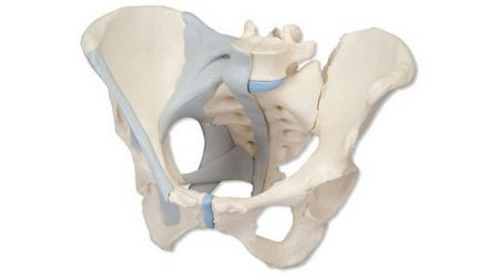 Female Pelvis with Ligaments, 3 part