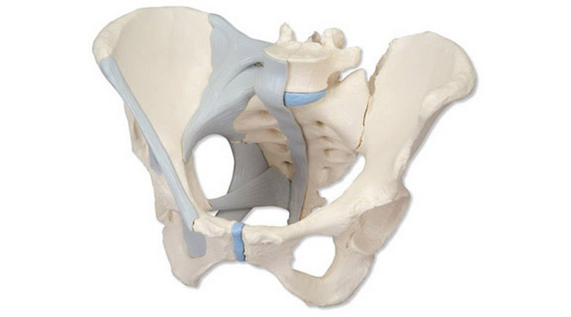 Female Pelvis with Ligaments