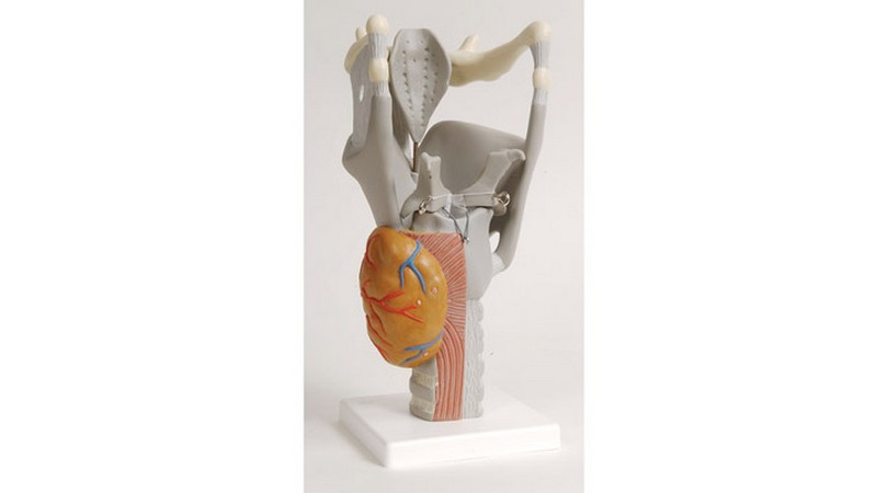 Functional Larynx Model, 2.5 Times Full-Size   Instruments Direct