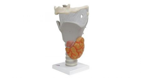 Functional Larynx Model, 2.5 Times Full-Size