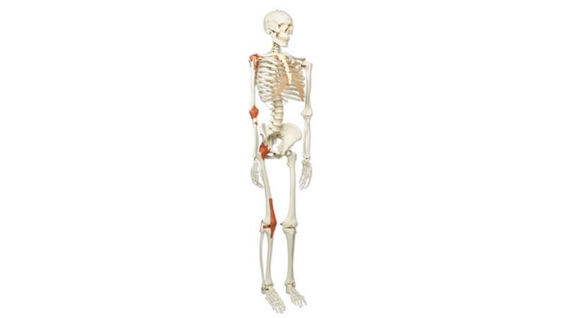 Human Ligament Skeleton Instruments Direct