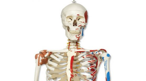 Human Skeleton with Muscles and Ligaments