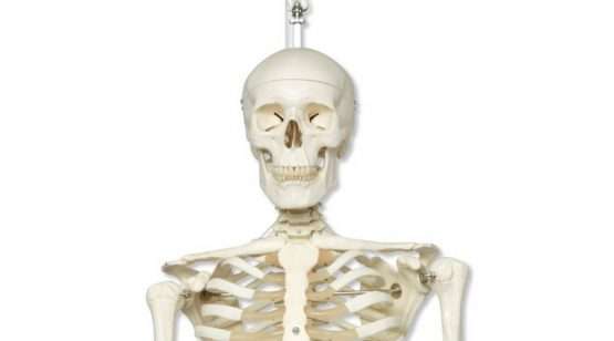 Human Skeleton (Hanging)