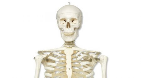 Human Skeleton on 5 Foot Roller Stand