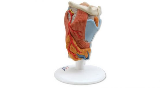 Larynx Model. 2 Part
