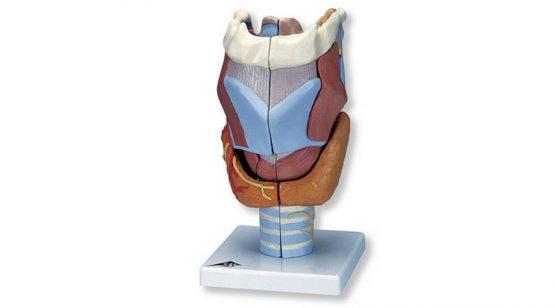 Larynx Model 2x Full Size 7 Part