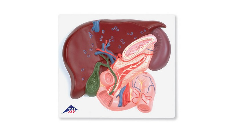 Liver with Gall bladder; Pancreas and Duodenum