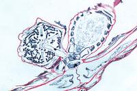 Prepared Microscope Slide. Chara