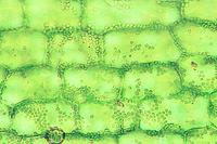 Elodea, w.m. of leaf showing large chloroplasts