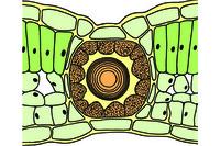Schizogenous oil glands, t.s. leaf of Hypericum