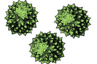 Ambrosia, ragweed, pollen grains w.m.