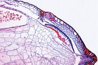 Mnium, l.s. of sporophyte with spores