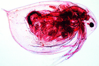 Daphnia, water flea, w.m.