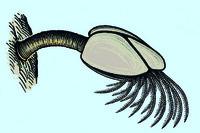 Lepas anatifera, barnacle, w.m. of catching leg