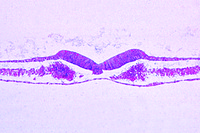 Chicken, 24 hour, t.s. with neural groove, notochord, germinal layers, somites