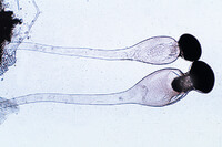 Prepared Microscope Slide. Pilobolus