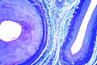 Artery and vein of smaller size, human t.s. routine stained