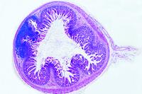 Prepared Microscope Slide. Small intestine from human foetus