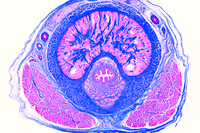 Prepared Microscope Slide. Penis from human foetus
