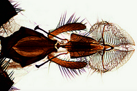 Musca domestica, house fly, head and mouth parts with sucking tube, w.m.