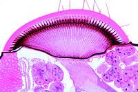 Compound eye, t.s. through head of queen (Apis mellifica)
