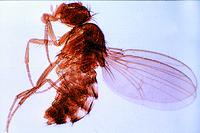 Drosophila, adult female w.m.