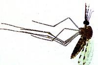 Anopheles, adult female w.m.