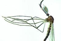 Culex pipiens, common mosquito, adult male w.m.