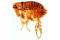Ctenocephalus canis, adult female w.m.