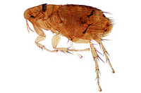 Nosopsyllus fasciatus, rat flea, adult w.m.