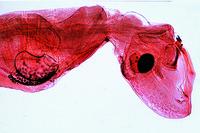 Corethra, gnat, larva w.m.