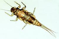 Caenis, larva w.m.