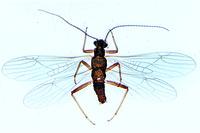 Nemura sp., stone fly, adult w.m.
