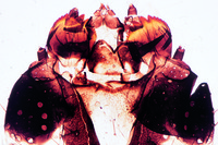 Pieris sp., mouth parts of caterpillar (larva) w.m.