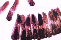 Culex pipiens, ova w.m.