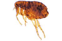 Pulex irritans, adult female w.m. *