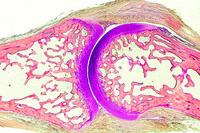 Prepared Microscope Slide. Foetal knee joint