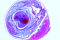 Uterus of rat with embryo in situ, t.s.
