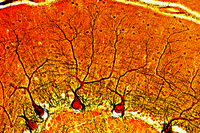 Cerebellum, t.s. stained by Golgi's silver method to show the Purkinje cells