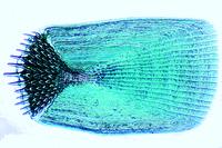 Ctenoid scales w.m.