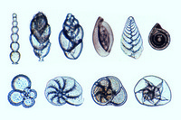 Foraminifera, mixed species showing different forms