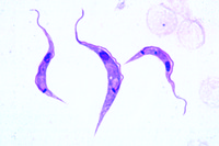 Trypanosoma lewisi, a large species living in rats and mice, blood smear with parasite, heavy infection